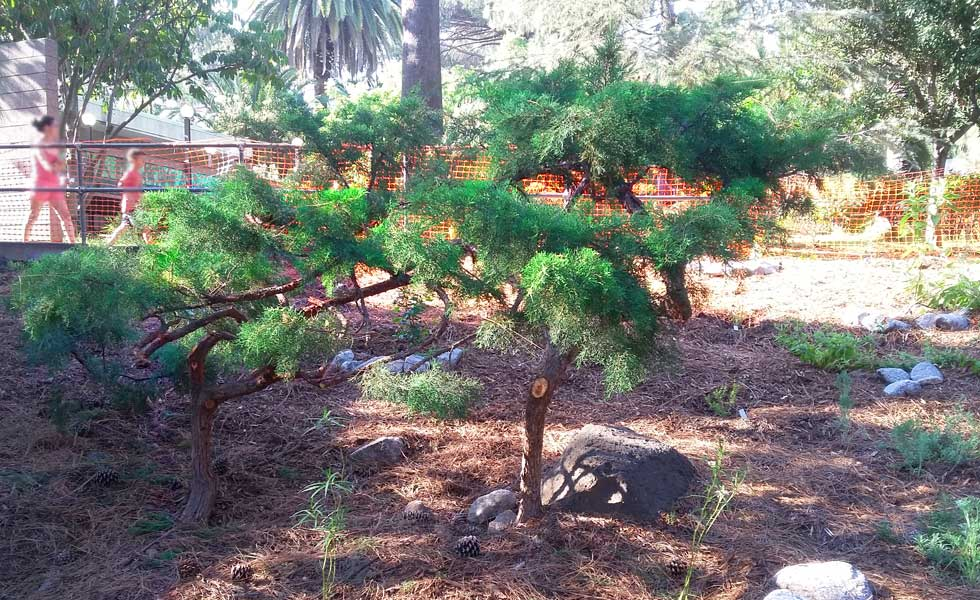 a juniper shaped in the form of japanese bonsai tradition at the new garden photo - Water Conservation Garden