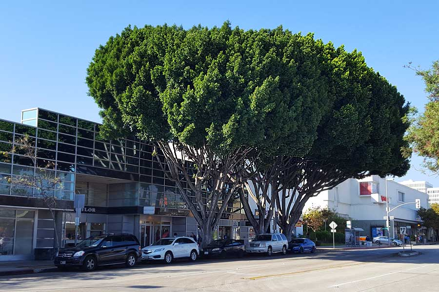 three ficus trees are slated to be cut on south lake avenue photo staff - Ficus Trees