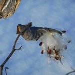 Milkweed pod with seeds (Photo - Tom Clausen).